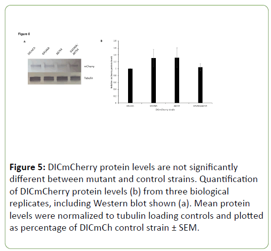 genetics-molecular-DICmCherry