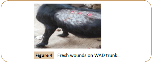 veterinary-medicine-surgery-Fresh-wounds-WAD-trunk