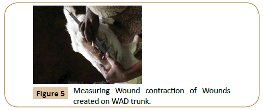 veterinary-medicine-surgery-Measuring-Wound-contraction